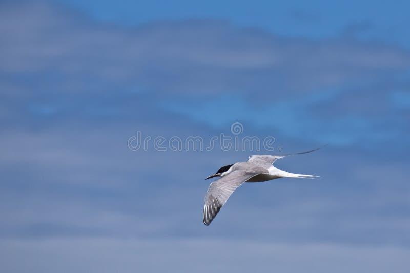 Eine Küstenseeschwalbe im Hintergrund des unscharfen blauen Himmels, stockfoto