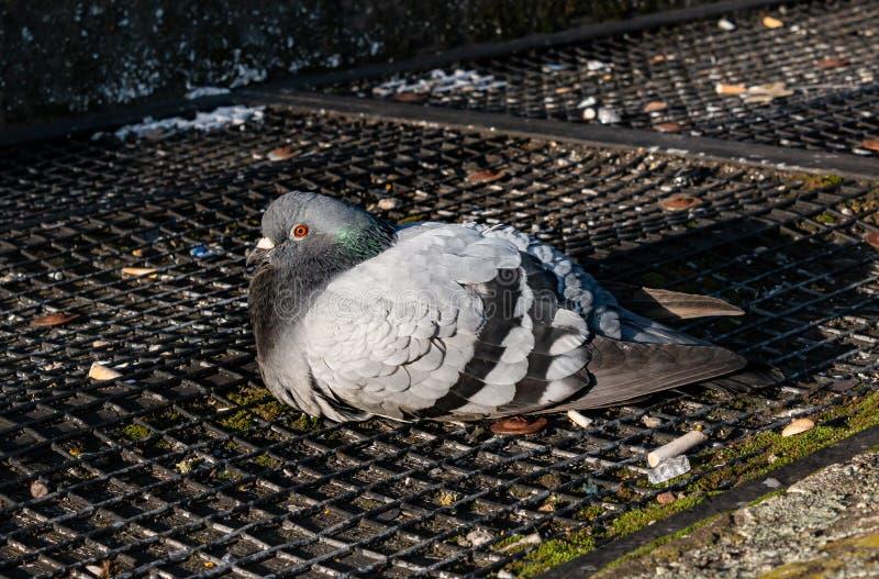 Eine kalte Taube lizenzfreie stockbilder