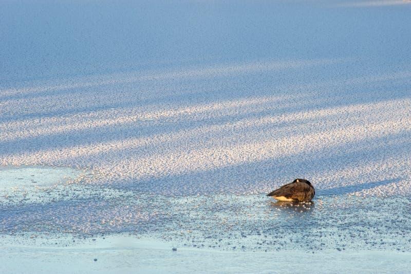 Eine Kanada-Gans auf einem gefrorenen See stockfotografie