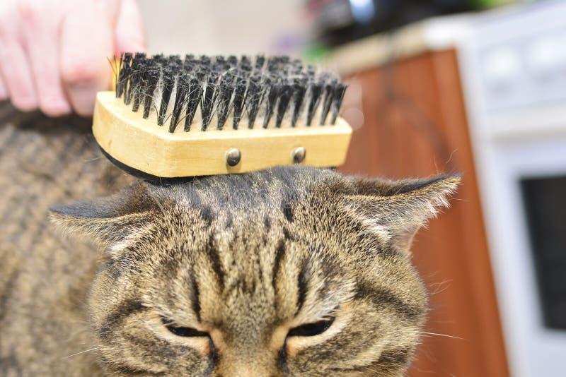 Eine Katze der getigerten Katze liegt und genie?t, wenn sie gek?mmt und gek?mmt wird lizenzfreie stockfotografie