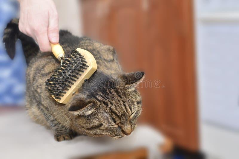 Eine Katze der getigerten Katze liegt und genie?t, wenn sie gek?mmt und gek?mmt wird lizenzfreies stockfoto