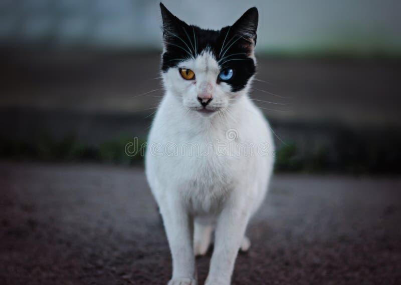 Eine Katze mit verschiedenen Augen stockbilder