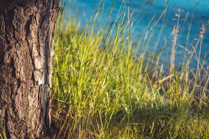 Eine Kiefer, die voll neben einer Flussbank des Grases über Hintergrundnahaufnahmeschuß des blauen Wassers wächst stockfoto