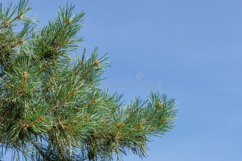 Eine Kiefernniederlassung mit grünen Kegeln gegen den blauen Himmel im Park stockfoto