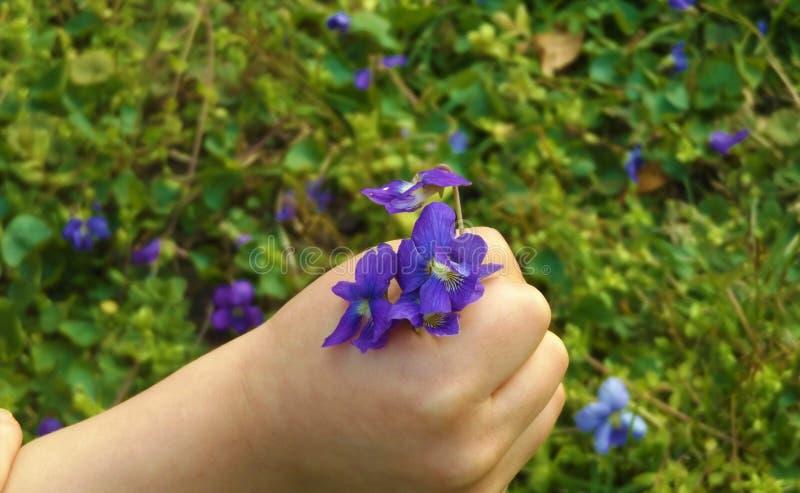 Eine Kind-` s Hand, die purpurrote Blumen hält stockbild