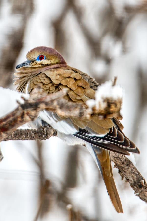 Eine klassische weiße geflügelte Taube hockte auf scheuern Eichen-Niederlassung lizenzfreie stockfotos