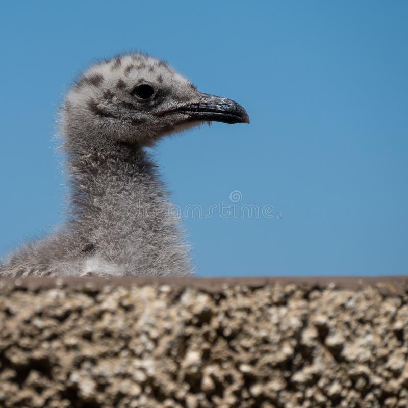 Eine kleine Baby Seemöwe mit blauem Himmel lizenzfreie stockfotos