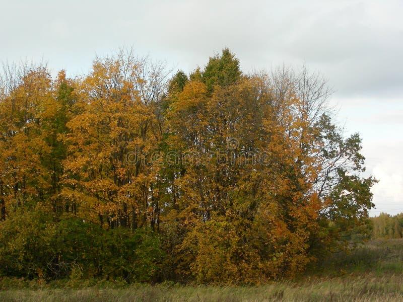 Eine kleine Baumgruppe gelb gedreht - Spätherbst stockbild