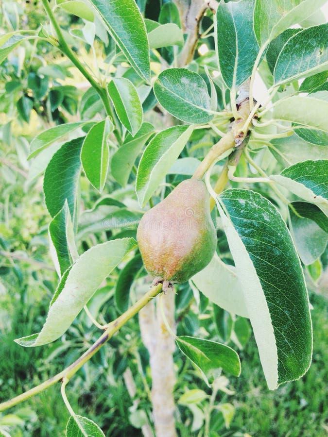 Eine kleine Birne, die auf einem Glied wächst lizenzfreie stockfotografie