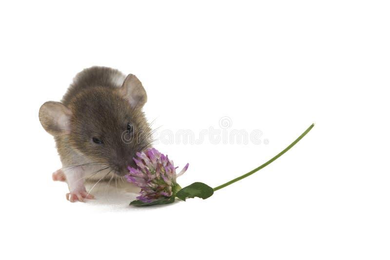 Eine kleine dumbo Ratte, welche die Blume lokalisiert auf Weiß isst lizenzfreies stockfoto