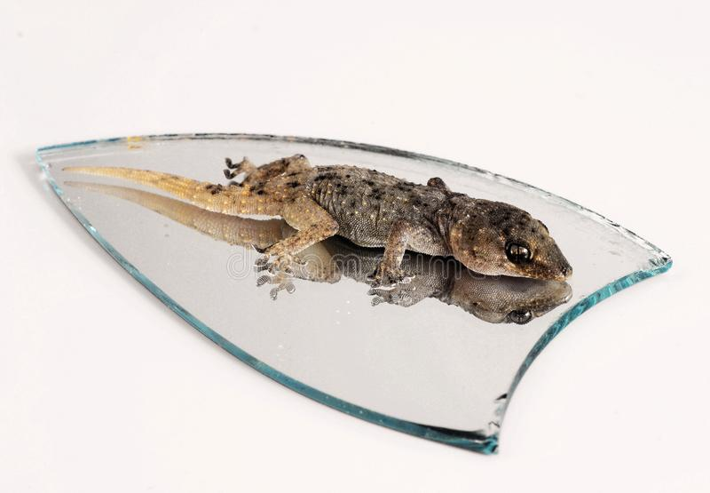 Eine kleine Gecko-Eidechse und Spiegel stockfotografie