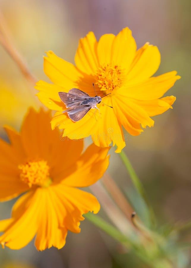 Eine kleine graue Kapitänmotte pausiert auf einer hellen gelben Ringelblumenblume lizenzfreie stockfotos
