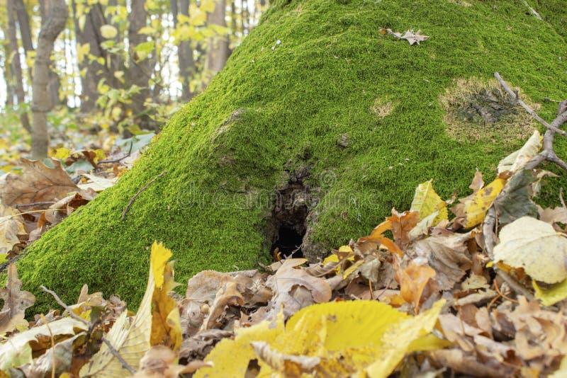 Eine kleine Höhle oder ein Loch an der Wurzel eines Baums Grünes Moos auf dem Herbstbaum Gelbes Herbstlaub lizenzfreie stockbilder