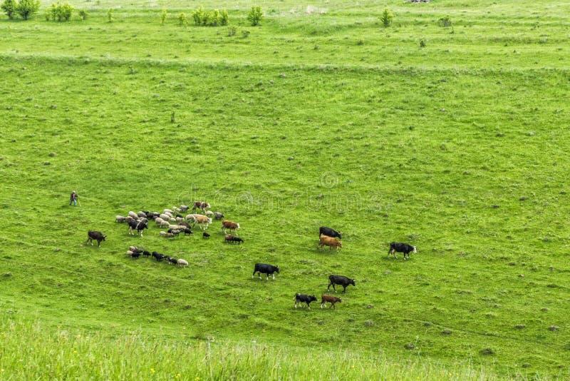 Eine kleine Herde von Kühen mit einem Schäfer lässt in einer Wiese weiden lizenzfreies stockbild