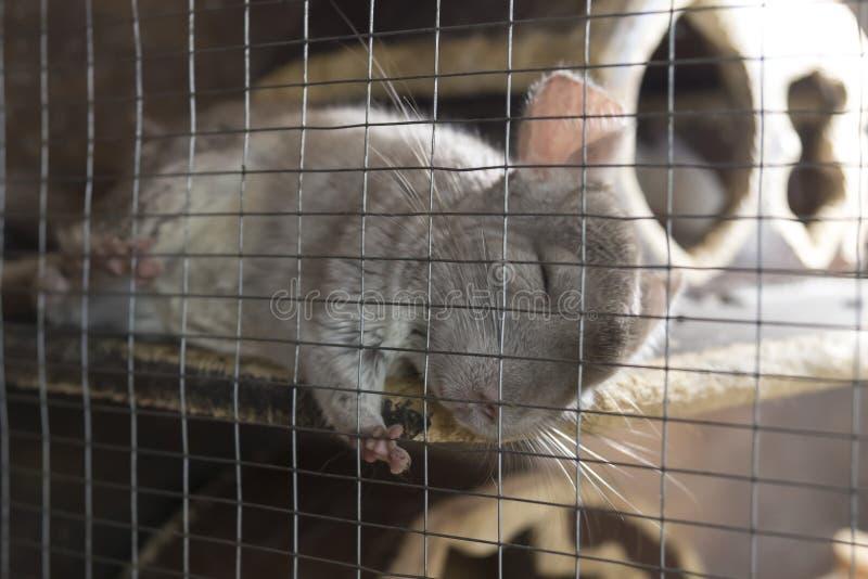 Eine kleine nette Chinchilla schläft friedlich im Käfig stockfoto