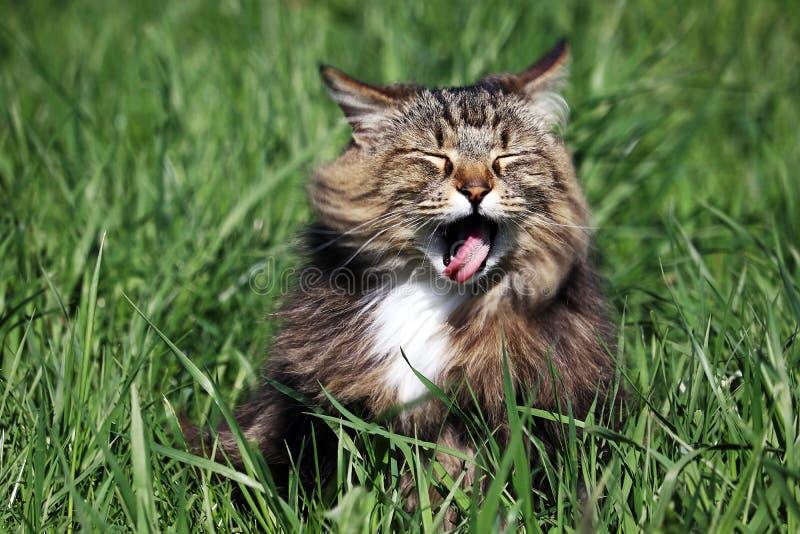 Eine kleine norwegische Waldkatze haftet heraus seine Zunge mit einem offenen Mund stockfotos