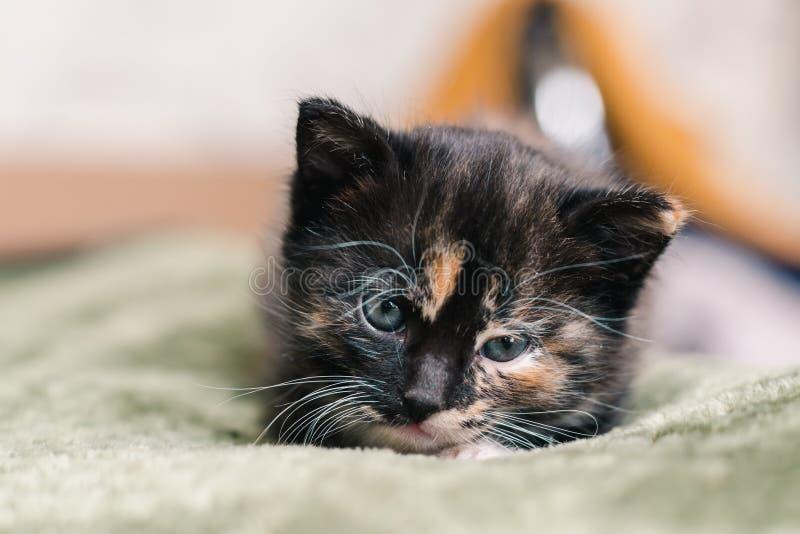 Eine kleine schöne schwarze Katze mit den weißen und roten Stellen und blauen den Augen, die auf einer grünen Wolldecke liegen stockfotografie