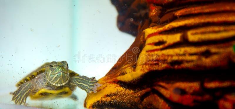 Eine kleine Schildkröte kriecht auf den Boden stockbilder