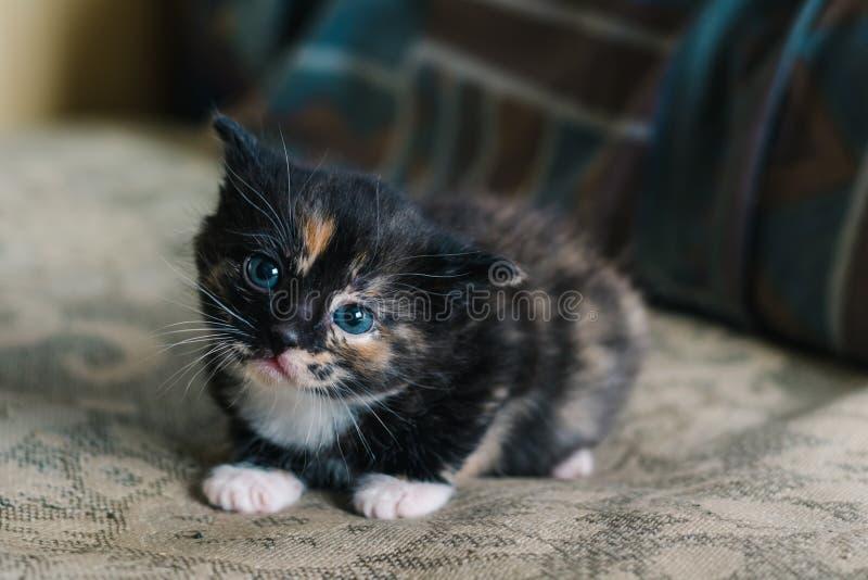 Eine kleine schwarze Katze mit den weißen und roten Stellen und den blauen Augen liegt auf dem Sofa mit einem erschrockenen Blick lizenzfreie stockfotos