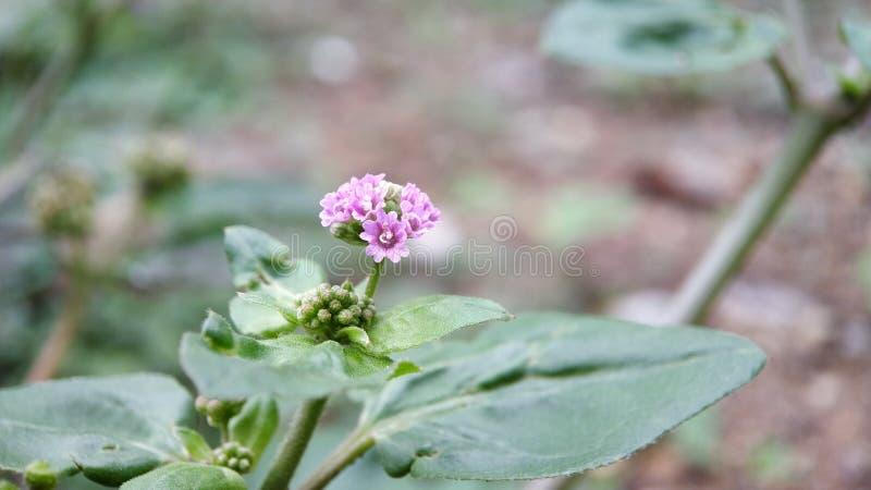 Eine kleine unbekannte hellrosa Blume i sehen im Wald, extremer Makroschuß stockfoto