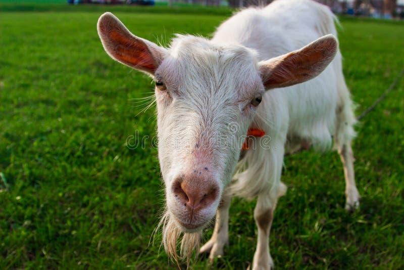 Eine kleine weiße Ziege untersucht die Kamera stockfotografie