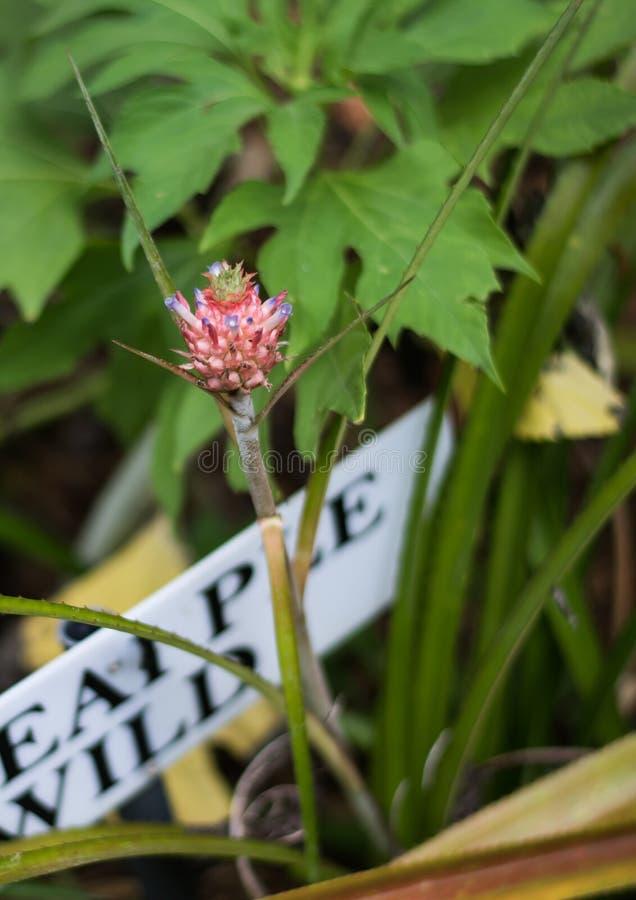 Eine kleine wei?e dekorative Ananas mit den gr?nen Bl?ttern, die heraus in einem Blumenbeet in einem botanischen Garten mit Anlag lizenzfreie stockbilder