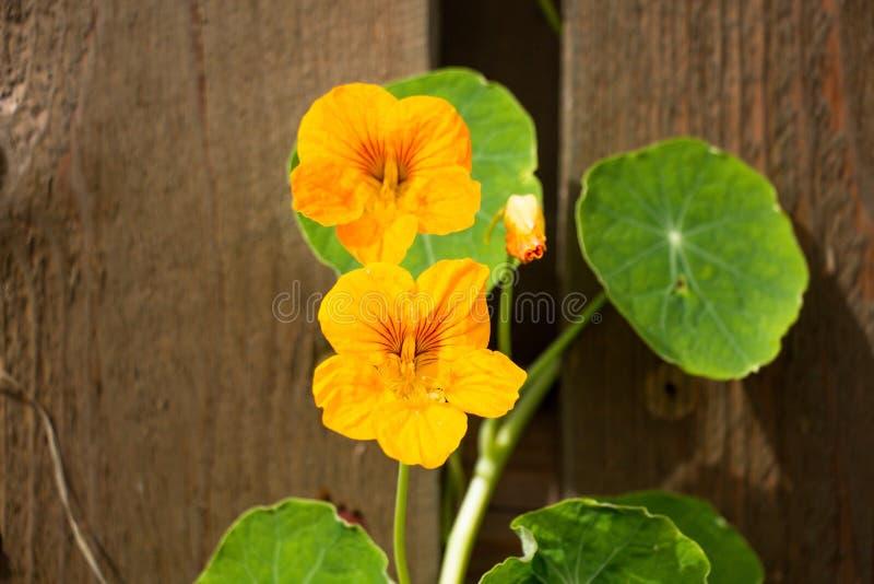Eine kleinen grünen Blume des Blattes und zwei Orange stockfotografie