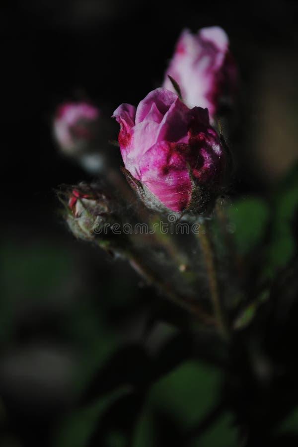 Eine Knospe von einem rosa stieg gegen einen dunklen Hintergrund, schöne rosafarbene Blüten im Garten lizenzfreie stockbilder