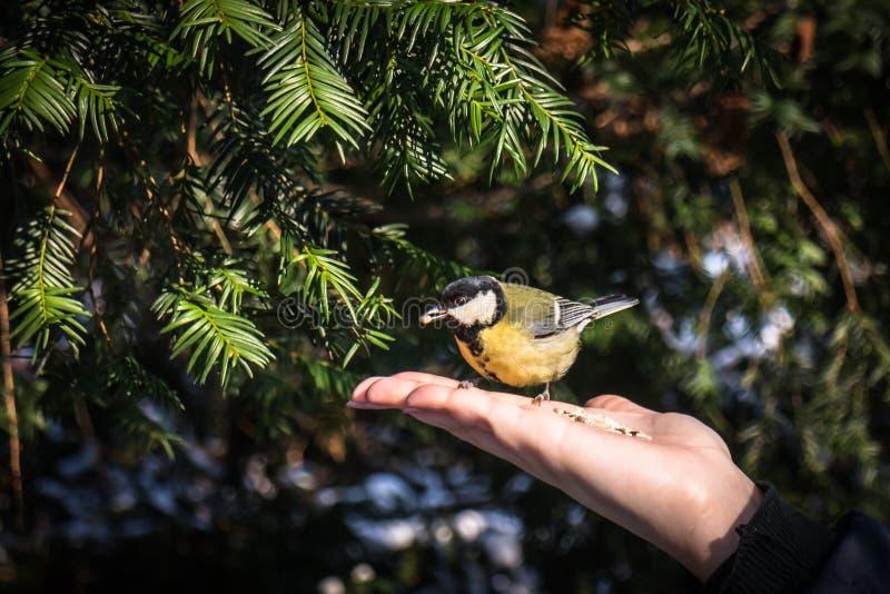 Eine Kohlmeise, die auf einer Hand sitzt und Samen im Schnabel hält lizenzfreies stockfoto