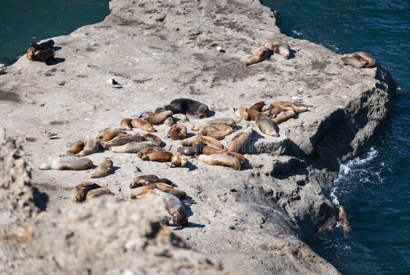 Eine Kolonie von SeelLöwen auf den Felsen auf der Halbinsel Valdes, Argentinien stockfotos
