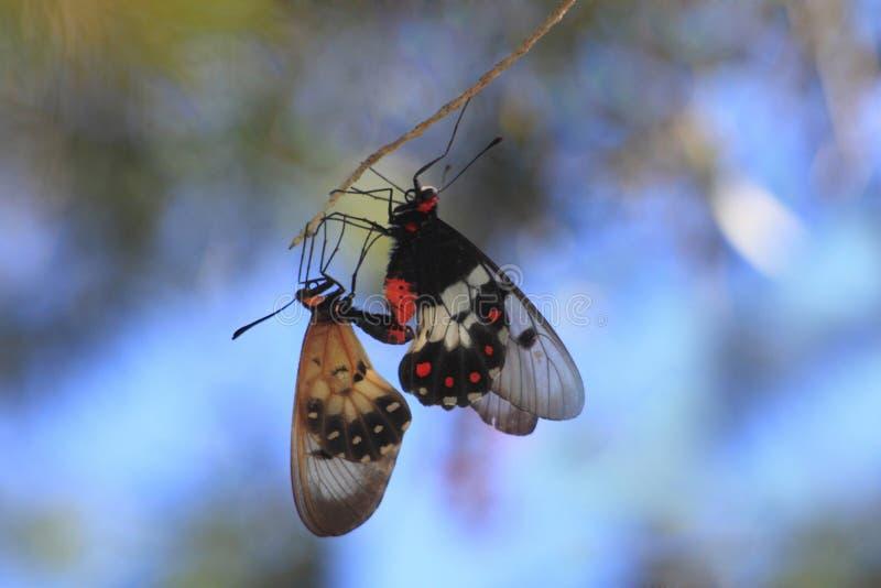Eine Kopula von zwei schönen transparenten Schmetterlingen lizenzfreies stockfoto