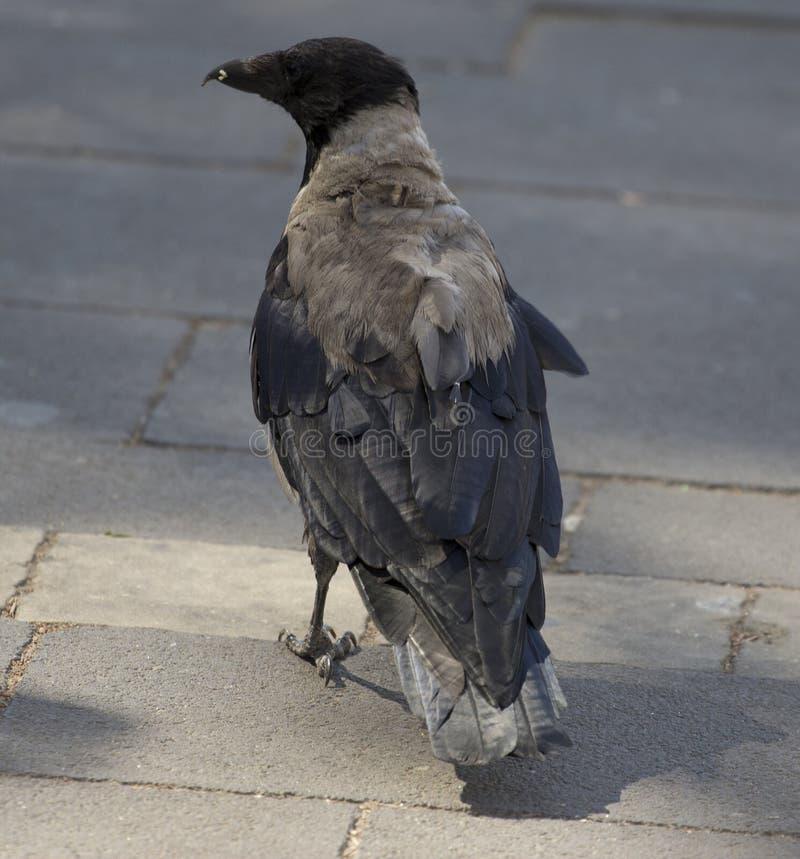 Eine Krähe stockfotografie