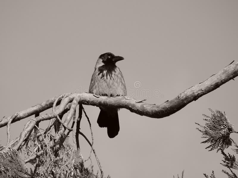 Eine Krähe, die mit der Ecke des Auges schaut lizenzfreie stockfotos