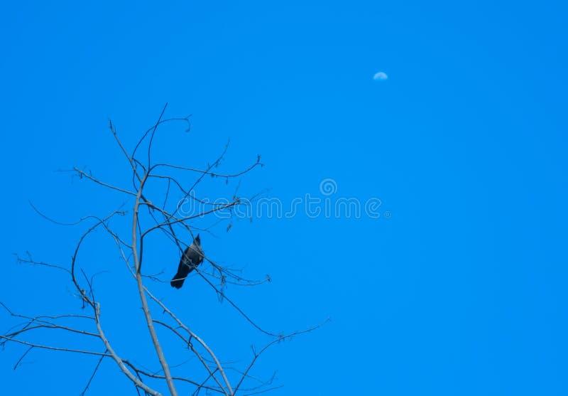 Eine Krähe, die Mond anstrebt lizenzfreies stockbild