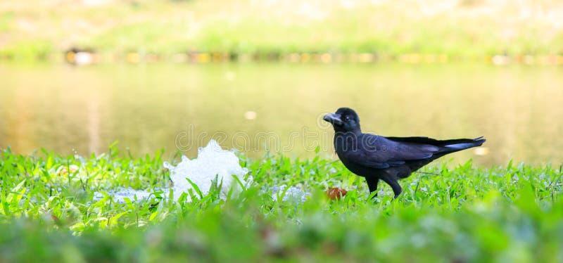 Eine Krähe im Garten lizenzfreie stockfotografie