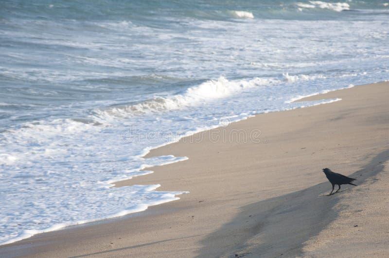 Eine Krähe am Strand stockbilder