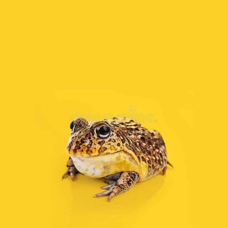 Eine Kröte auf einem gelben Hintergrund stockfoto