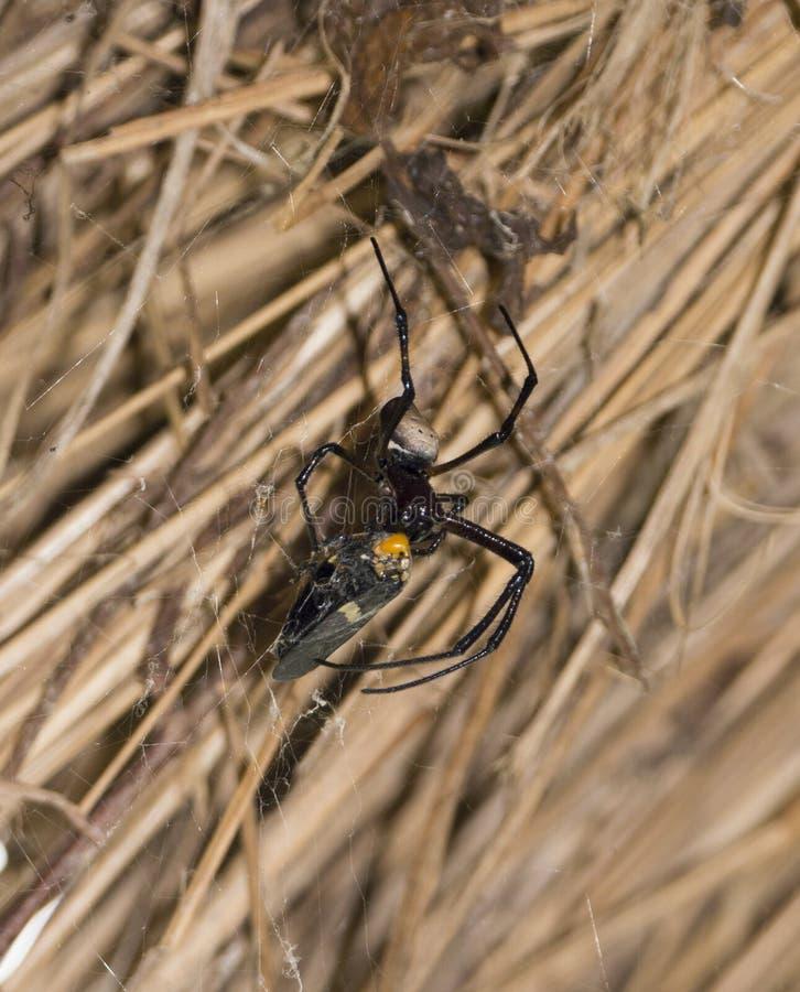 Eine KugelWeb spider, die auf eine Motte oder einen Schmetterling einzieht lizenzfreie stockbilder