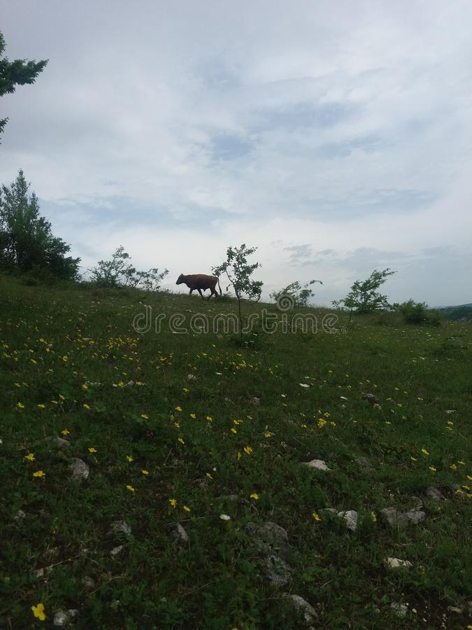 Eine Kuh lizenzfreie stockfotografie