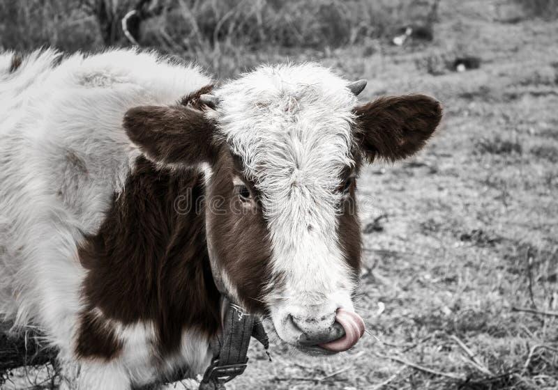 Eine Kuh auf dem Gebiet heraus gesetzt einer ` s Zunge lizenzfreie stockfotos