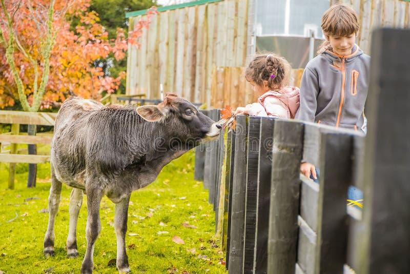 Eine Kuh auf einem Bauernhof stockfoto