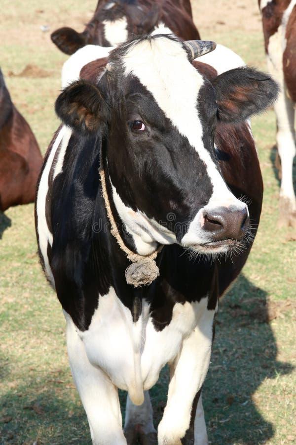 Eine Kuh innerhalb eines grünen Feldes an einem Bauernhof stockfotografie