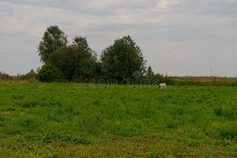 Eine Kuh lässt auf einer Lichtung weiden stockbild