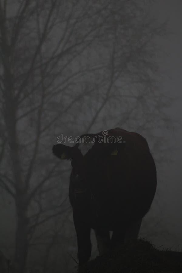 Eine Kuh in Misty Forest Heifer, die Heu isst stockfotos