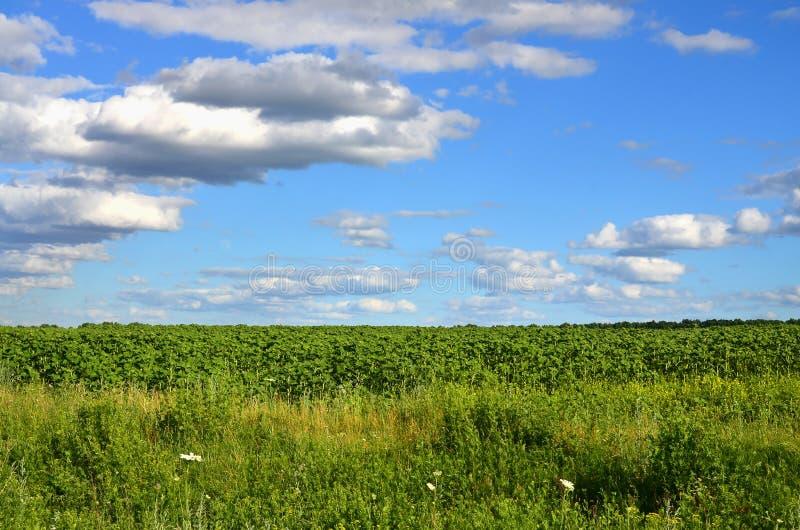 Eine ländliche Landschaft mit einem grünen Feld von späten Sonnenblumen unter einem bewölkten blauen Himmel lizenzfreie stockbilder