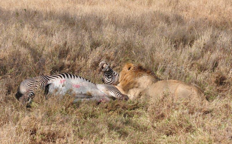Eine Löwetötung eines grevy Zebras 6 lizenzfreies stockfoto