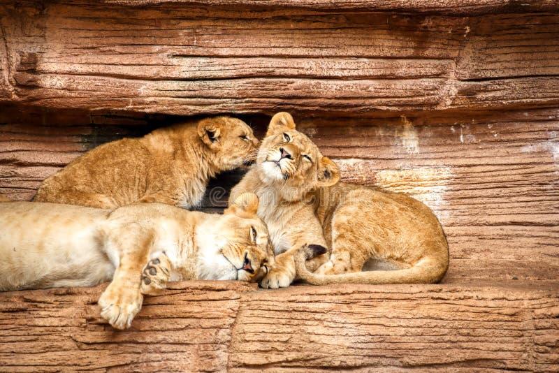 Eine Löwin, die bei zwei jungen Jungen auf einer Felsenleiste liegt stockfotos