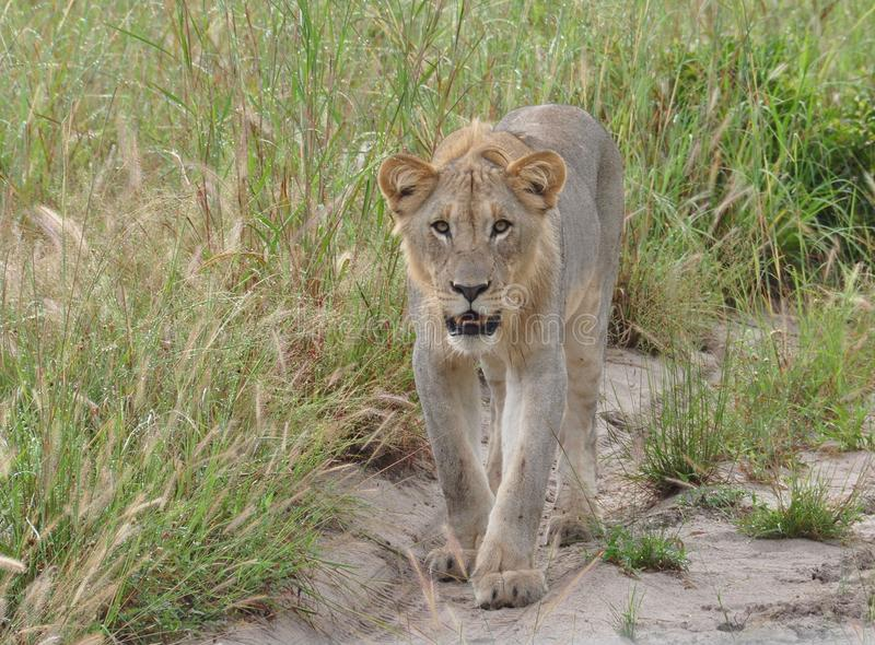 Eine Löwin, die unserem Fahrzeug sich nähert lizenzfreie stockbilder