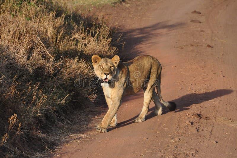 Eine Löwin, welche die Straße kreuzt stockfotos