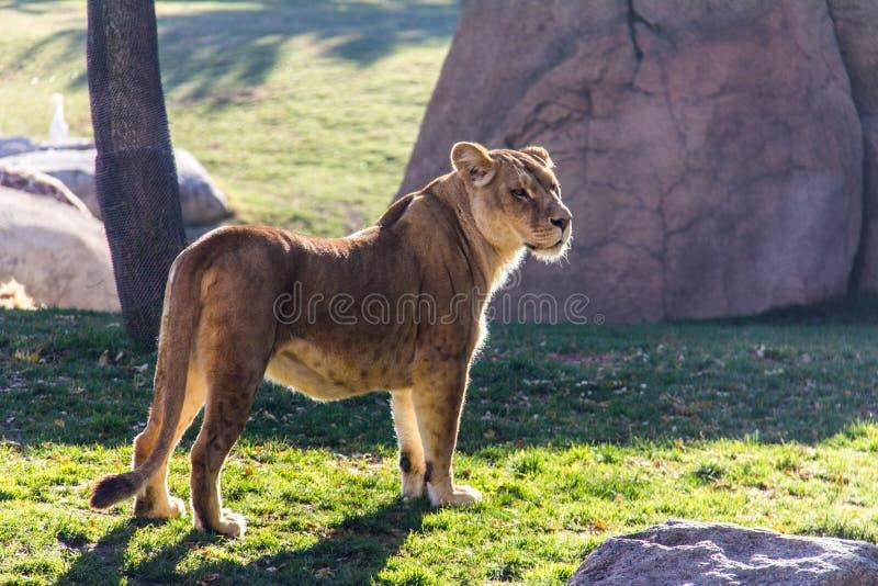 Eine Löwinstellung auf dem Gras lizenzfreie stockfotos